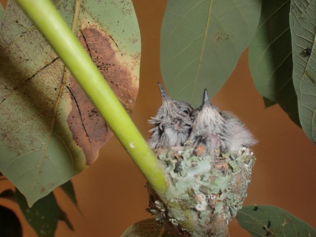 Kolibri-Nest-in-unserem-Avocado-Baum